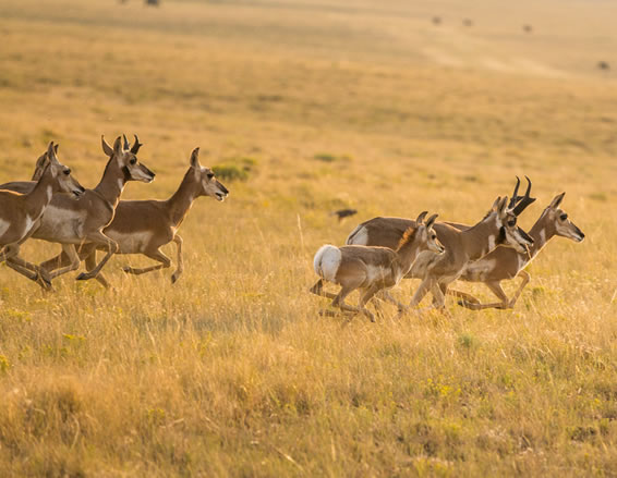 Wyoming Pronghorn Antelope Hunts
